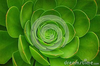 Green Aeonium Arboreum Plant