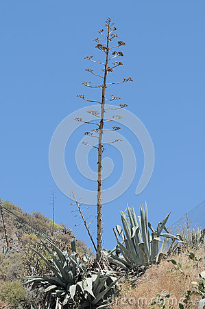 Green Agave Flowers