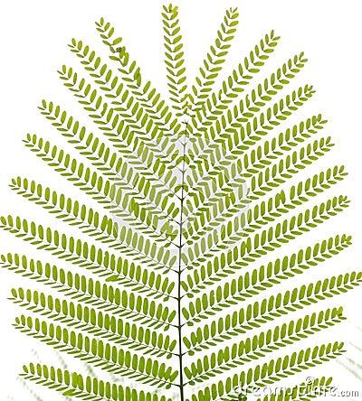 Green Albizzia falcata tree leaf