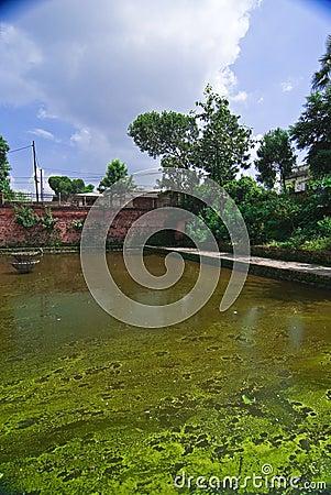 Green algae covered pond