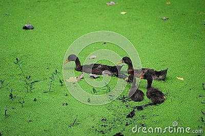 Green algae in the duck