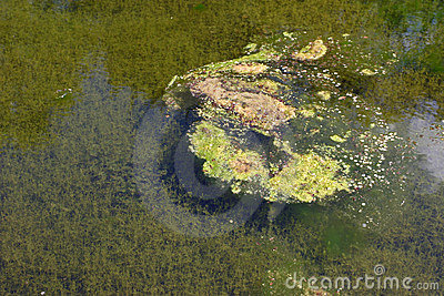 Green algae in water