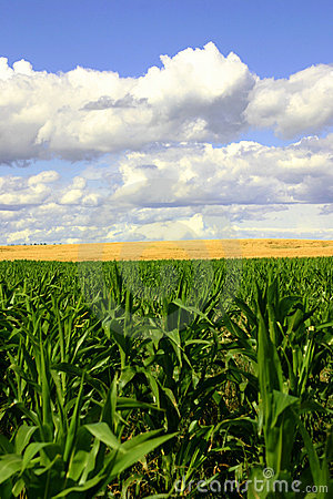 Free Green And Gold Fields, Blue Skies II Royalty Free Stock Image - 21286