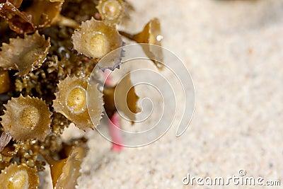Green anemones on the beach.