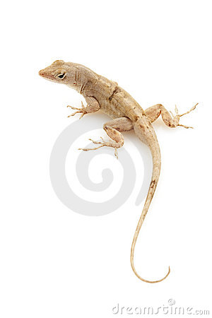 Free Green Anole Royalty Free Stock Image - 9854786