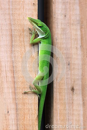 Free Green Anole Trying To Hide Between A Wooden Fence Royalty Free Stock Photos - 134239358