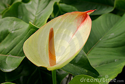 Green anthurium