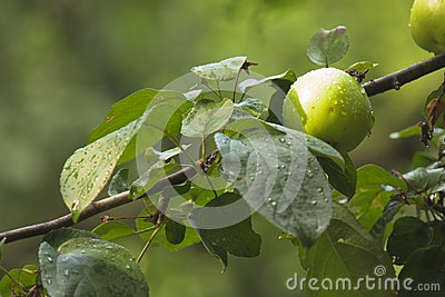 Green apple on apple-tree branch