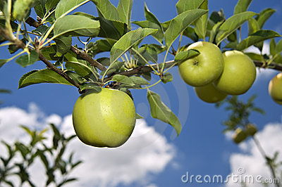 Green apple on branch