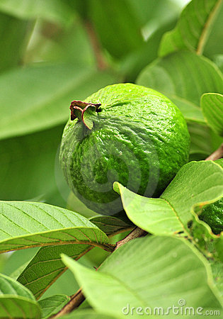 Green Apple Guava fruit