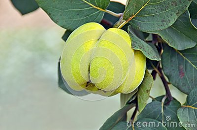 Green apple-quince