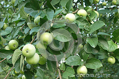 Green apples on apple-tree closeup