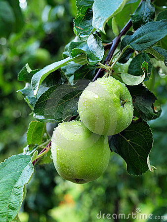 Green apples hanging on branch with water droplets