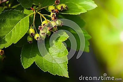 Green arrowwood