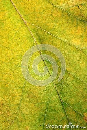 Green autumn leaf texture