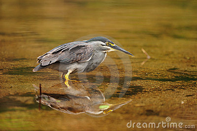 Green-backed Heron (Butorides striata)