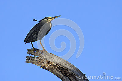 Green-backed Heron - Butorides striata