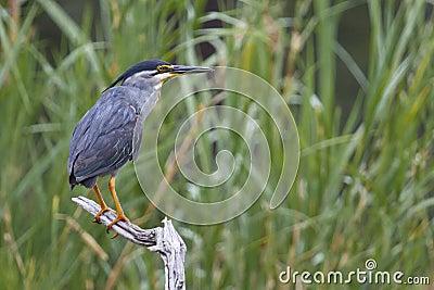 Green-backed Heron - Butorides striata