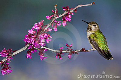 Green Backed Hummingbird