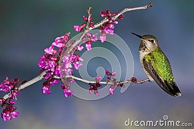 Green Backed Hummingbird