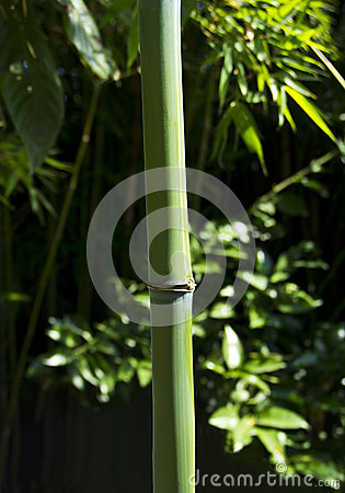 Green bamboo branch
