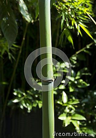 Green bamboo branch