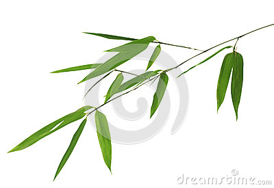 Green bamboo branch on white