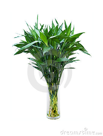 Green bamboo in a glass vase