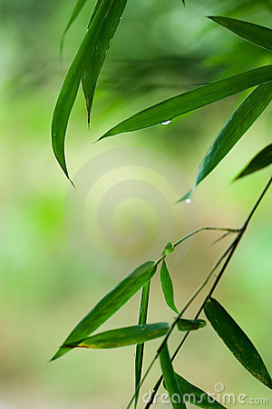 Free Green Bamboo Leaf With Water Drops Royalty Free Stock Photos - 4629728