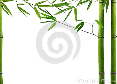 Green bamboo plant on white background