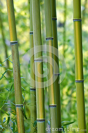 Green Bamboo Trees
