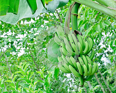 Green banana bundle