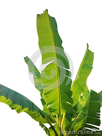 Free Green Banana Leaf Isolated Royalty Free Stock Image - 91575776