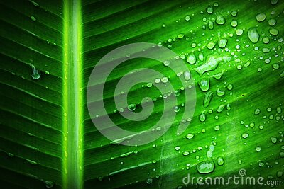 Green Banana Leaf With Substance Of Clear Liquid Free Public Domain Cc0 Image