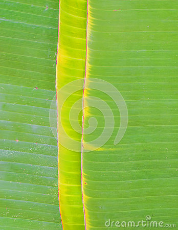 Green banana leaf
