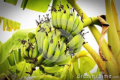Green Banana Tree Free Public Domain Cc0 Image