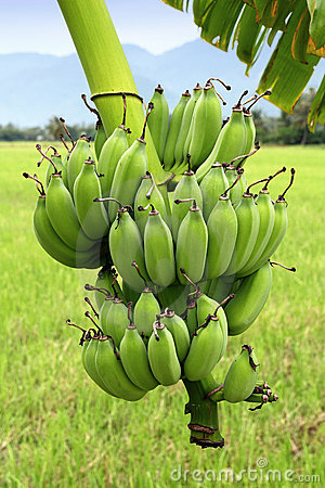 Green Bananas on Tree