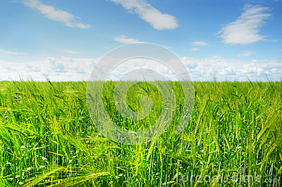 Green barley field and blue sky