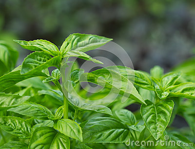 Green basil background