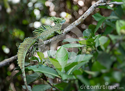 Green Basilisk lizard in the wild