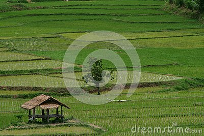 Green Beautiful Rice Field Stock Image - Image: 15781361