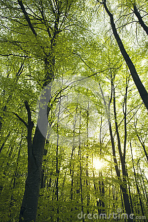 Green beech forest