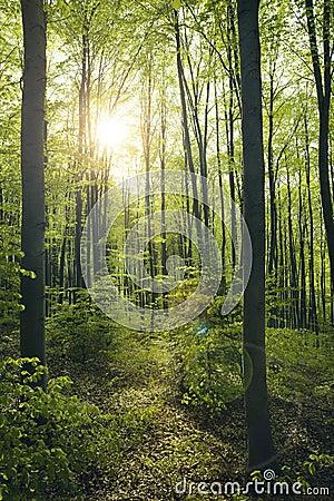 Green beech forest