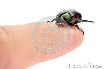 Green Beetle (Anomala albopilosa)