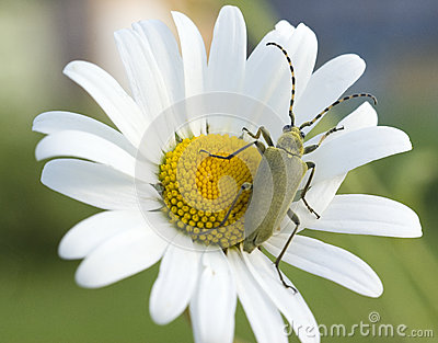 Green beetle on the camomile