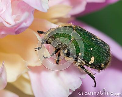 Green beetle feeding on a flower