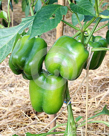 Free Green Bell Peppers Growing Royalty Free Stock Images - 28672659