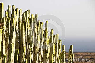 Green Big Cactus in the Desert