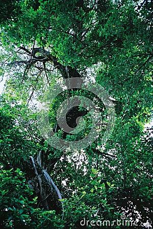 Green big tree