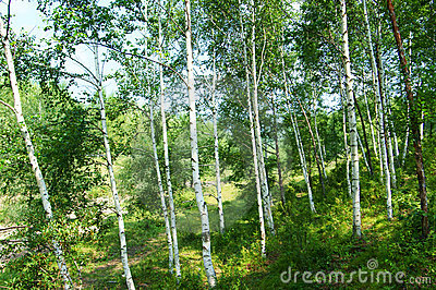 Green birch   forest